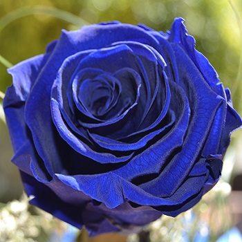 Rose bleue éclose