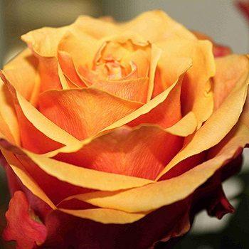 Rose jaune éclose