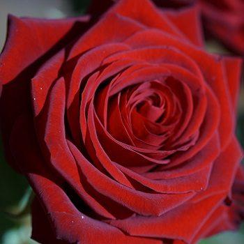 Rose rouge éclose